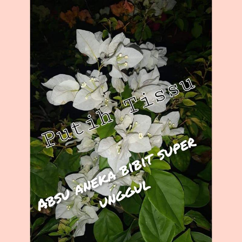 Bibit bunga bugenvil ekor musang putih