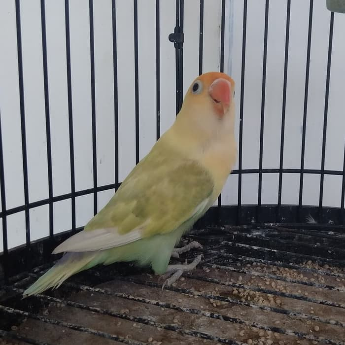 Burung Lovebird Parblue Pb Pastel Vb2910 Shopee Indonesia