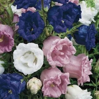 10 benih bunga cup and saucer campanula mix F1 bibit tanaman import UK