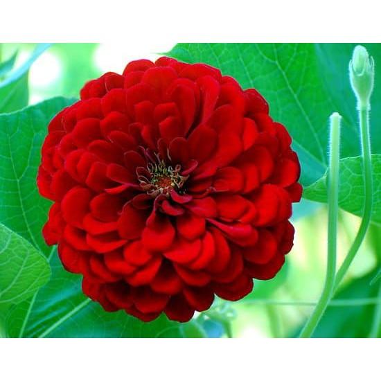 15butir Seed Bunga Kertas Bibit Biji Benih Bunga Zinnia Merah