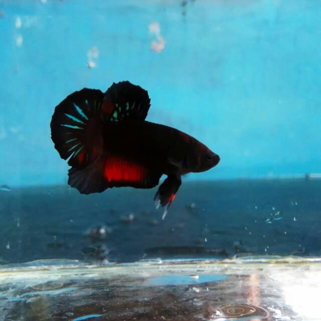 Ikan Cupang Avatar Jamina Ikan Sesuai Pic 100 Shopee Indonesia