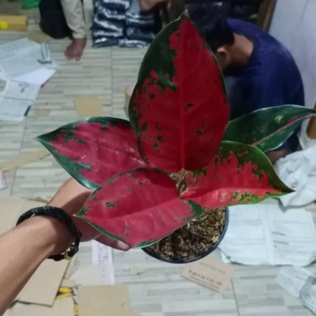 Tanaman hias aglaonema suksom jaipong / aglonema suksom / tanaman aglonema / aglaonema suksom