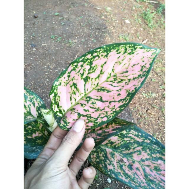 RUBY KIRANA ( Tanaman hias aglaonema / aglonema Chiangmay ruby )