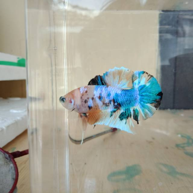 Ikan Cupang Nemo Galaxy Multicolor Male Jantan Size S Shopee Indonesia