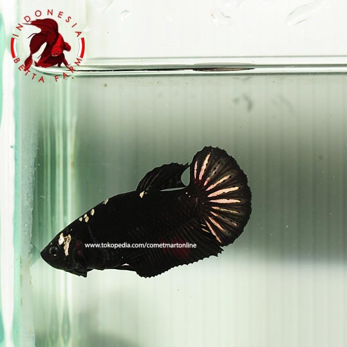 IKAN HIAS CUPANG AVATAR BLACK GOLD. Betina / Female - 01 Limited