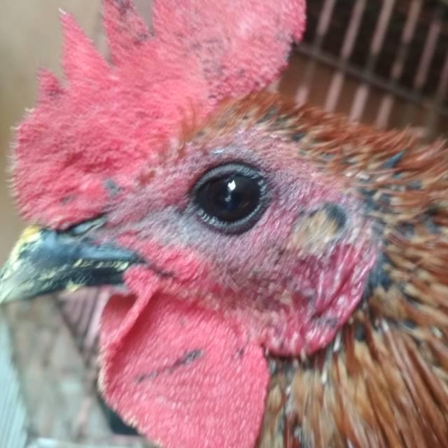 Ayam Walik Wiring Kuning on