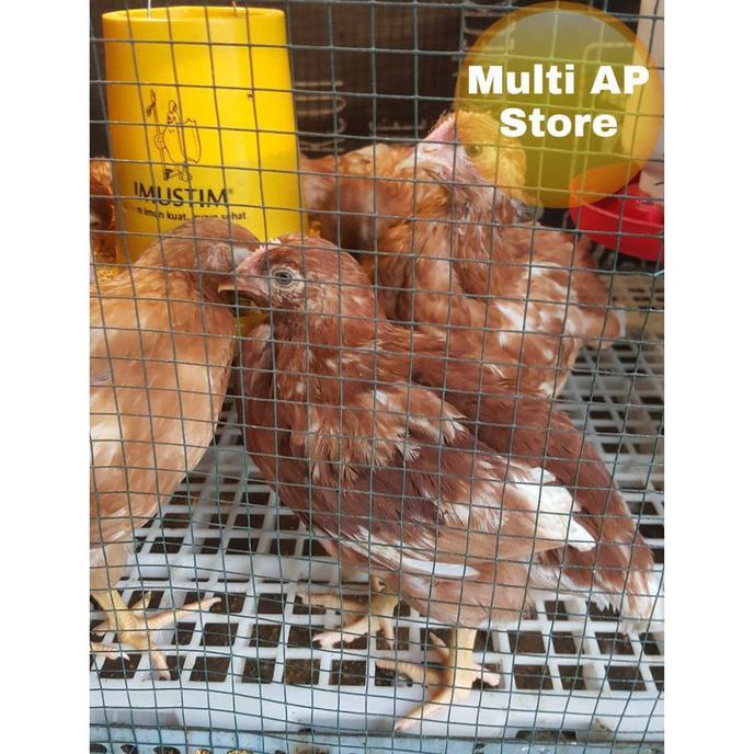 Bibit Ayam Sehat Petelur Omega 3,6 dan 9 HG0373