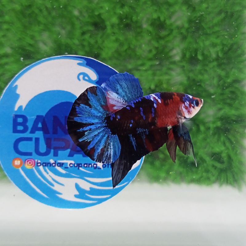 Ikan Cupang Top Grade (INDUKAN) Avatar Nemo Cooper Multicolor Nemoxy Candy Multi Galaxy