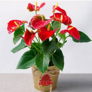 Tanaman hias anthurium mickey mouse