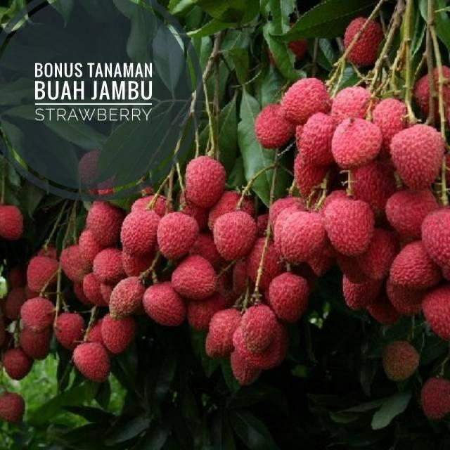 Kebun Buah Leci Di Indonesia