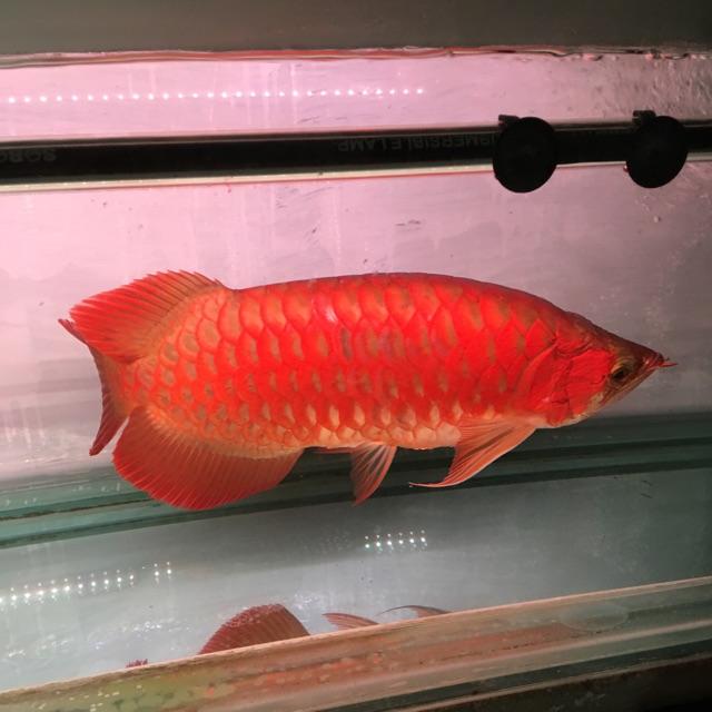 Ikan Arwana Arowana Super Red