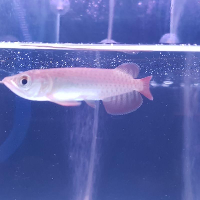 Arwana super red size 10cm
