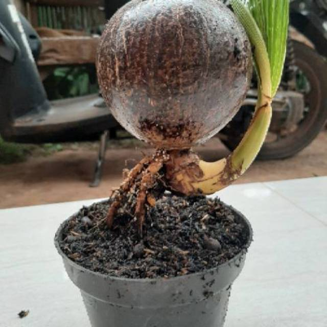 Bahan Bonsai Batok Kelapa Minion Batok Nungging Shopee Indonesia