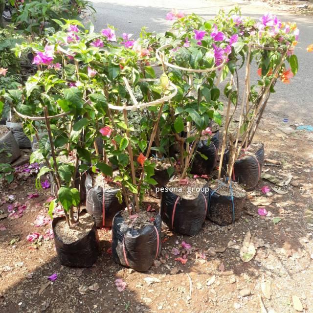 Tanaman Hias Bougenville Bugenvil Bugenville Bunga Kertas Hiasan Taman Rumah Shopee Indonesia