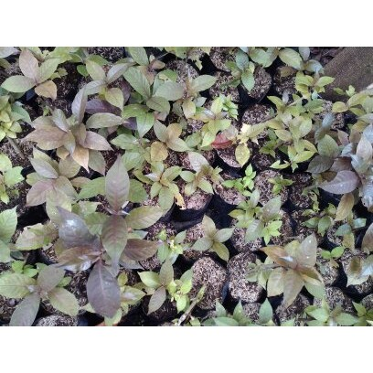 Tanaman Daun Ingu Tanaman Obat Daun Ungu Graptophyllum Pictum Griff Minimal Order 10 Pohon Shopee Indonesia