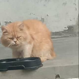 Kucing Persia Warna Cream Shopee Indonesia