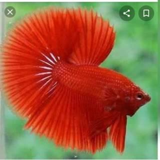Ikan Cupang Halfmoon Super White Solid | Shopee Indonesia
