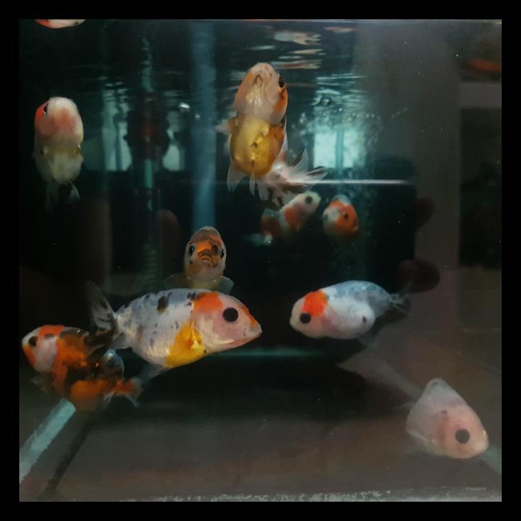 Termurah Ikan Mas Koki Ranchu - Sapi Calico Spesial - 002