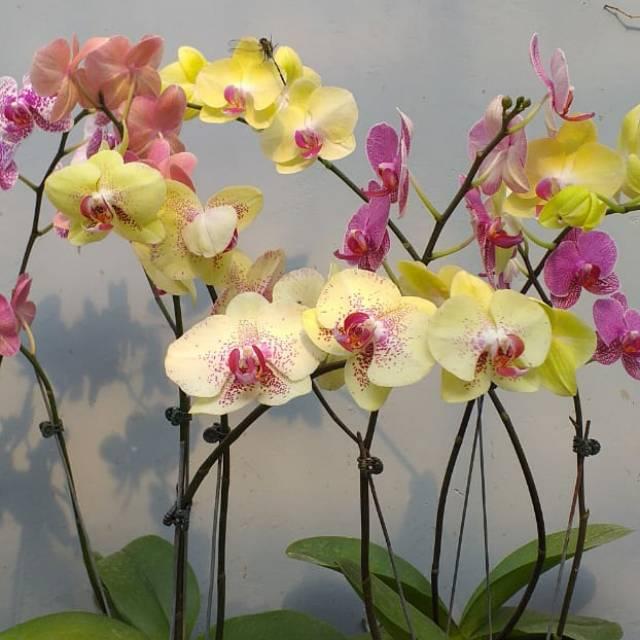 Bunga Anggrek Bulan Asli Hidup Shopee Indonesia