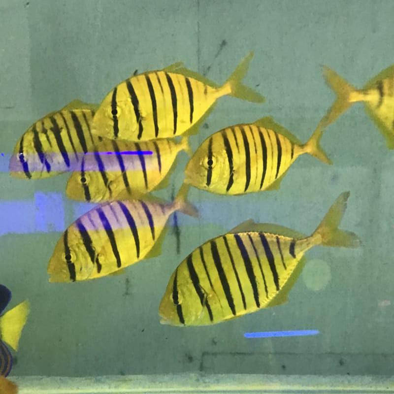 ikan hias laut pidana