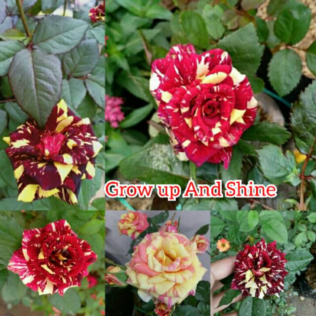 Bunga Mawar Batik Kuning Merah Tanaman Bunga Mawar Merah Gelap Kuning Shopee Indonesia