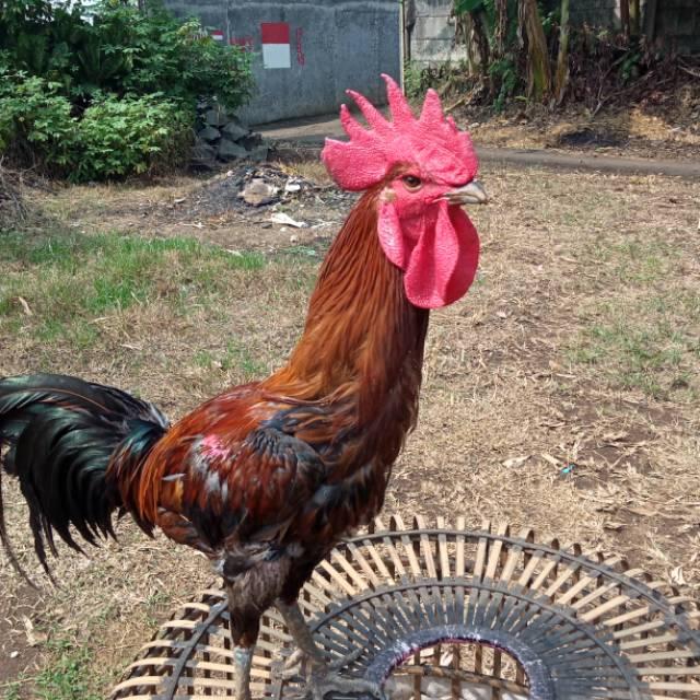 Ayam Hias Termahal Yang Ada Di Indonesia 2021