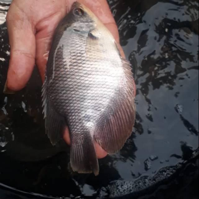 Ikan Gurame Soang Shopee Indonesia
