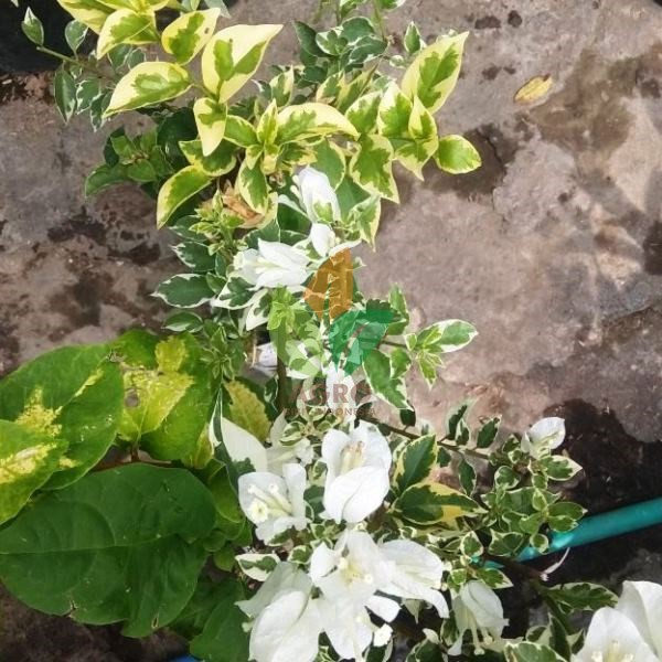 Bibit Bunga Kertas Putih Varigata Shopee Indonesia