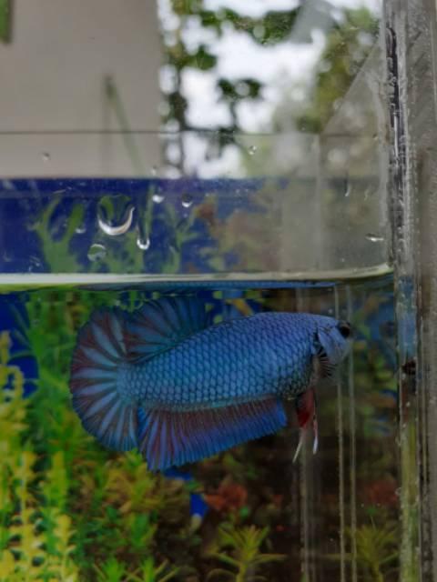 Ikan Cupang Baby Giant Shopee Indonesia
