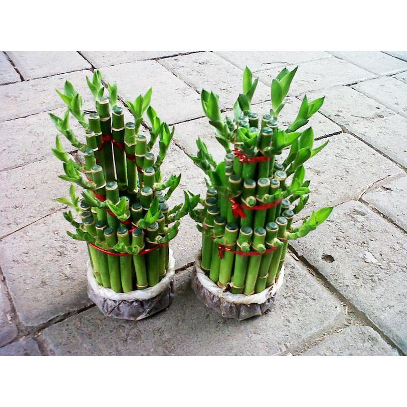 Bibit Tanaman Hias Bambu Hoki Rejeki Lucky Bamboo Pita Ribbon Plant Dracaena Sanderiana Shopee Indonesia