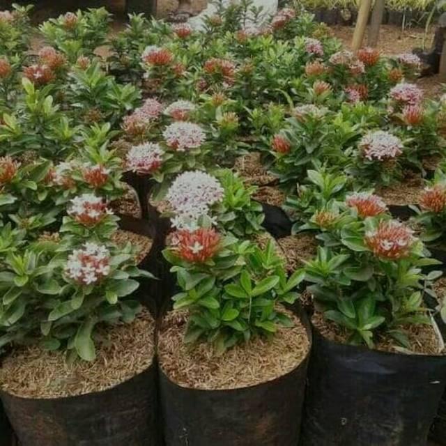 Tanaman Hias Asoka Jambon Bunga Pink Bunga Asoka Mini Jambon Shopee Indonesia