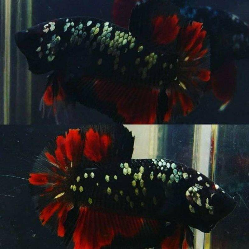 ikan cupang avatar cooper gold bahanan