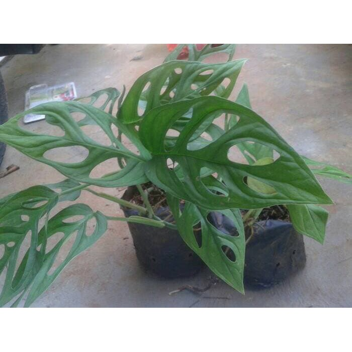 Tanaman Hias Janda Bolong Monstera Shopee Indonesia