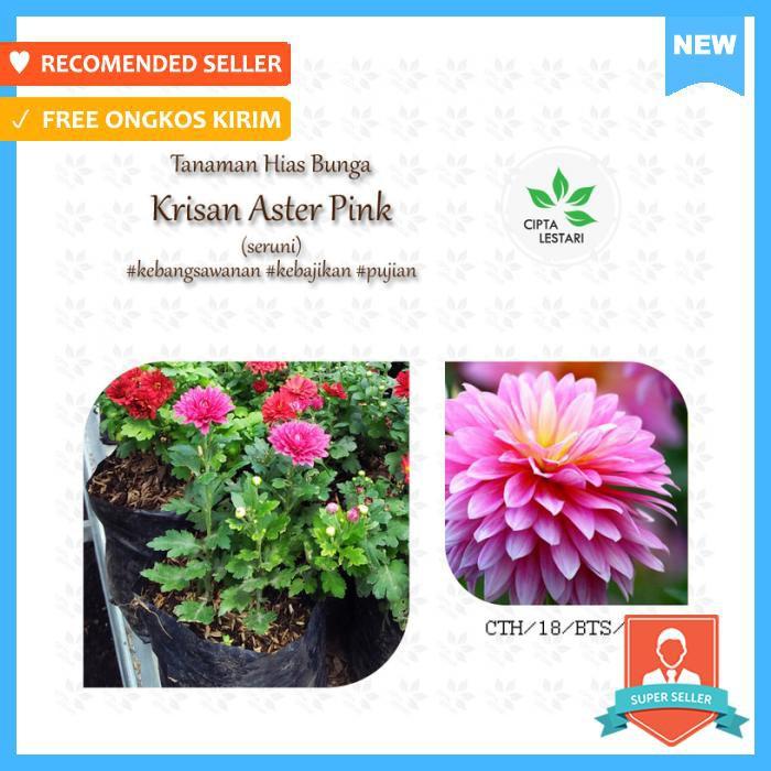 bunga krisan - Temukan Harga dan Penawaran Taman Online Terbaik -  Perlengkapan Rumah Februari 2019  b70608a64b