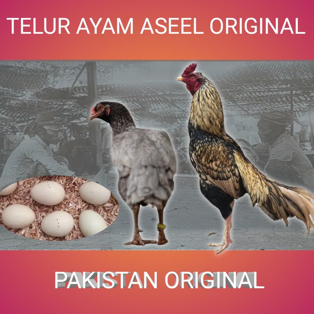 telur ayam bangkok aseel murga asli