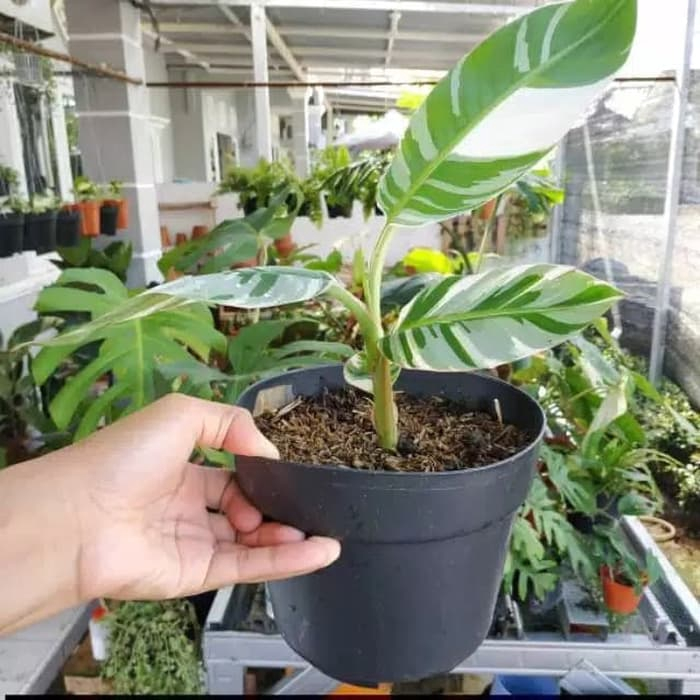 Promo Tanaman Hias Pisang Variegata Pohon Pisang Variegata Buah Shopee Indonesia