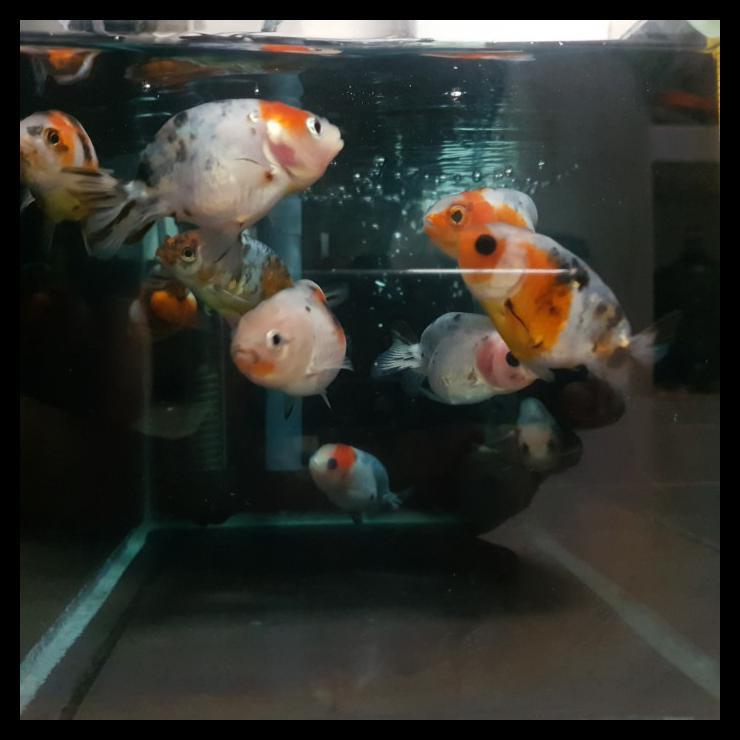 Special Price Ikan Mas Koki Ranchu - Sapi Calico Spesial - 002
