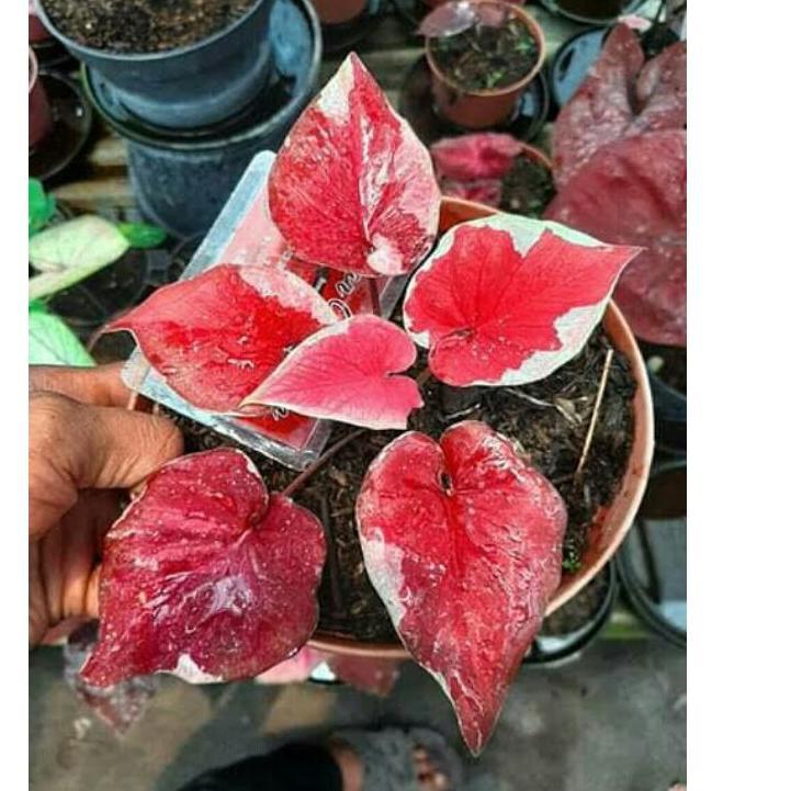 ♦ PROMO bonggol caladium Dwi Warna ➳