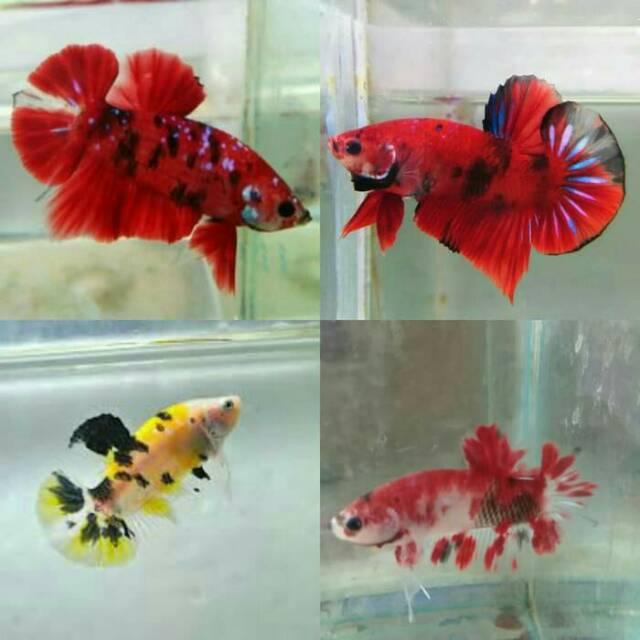 Anakan Burayak Ikan Cupang Koi Nemo Emerald Merah Kuning Galaxy Male Jantan Shopee Indonesia