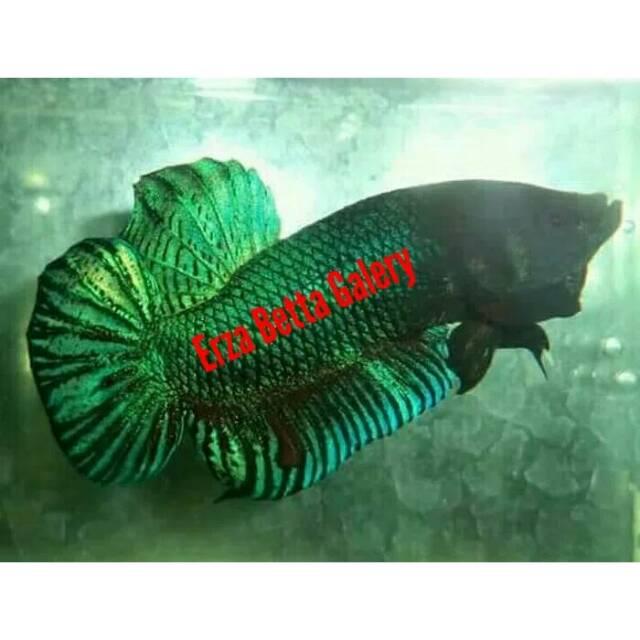 43 Koleksi Gambar Ikan Cupang Import Terbaik