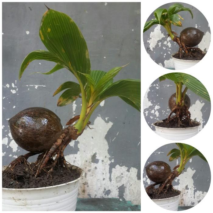 Bonsai kelapa unik menarik