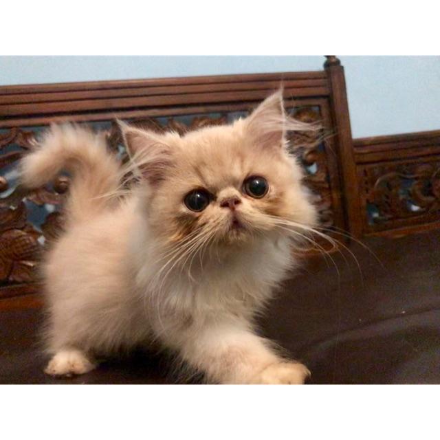 Kucing Peaknose Betina Shopee Indonesia