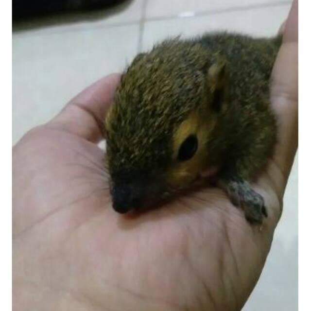 Coconut Squirrel Jinak Penganti Sugar Glider Shopee Indonesia