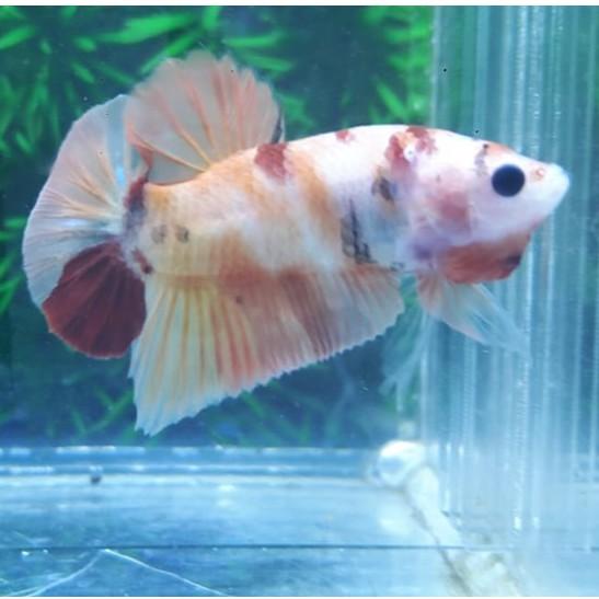 Ikan Cupang Plakat Nemo Jantan Size S Shopee Indonesia