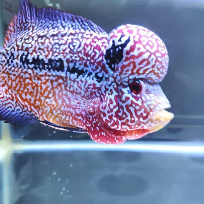 Pelet Jahat Black Level 2 Ikan Louhan Lohan Ukuran 100gr Merah Kontes Shopee Indonesia