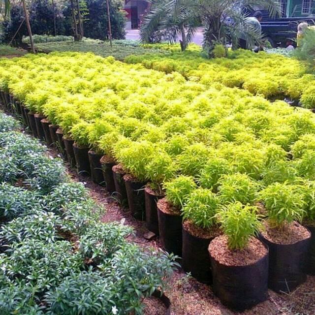 Tanaman Hias Bunga Brokoli Kuning Bunga Hias Shopee Indonesia