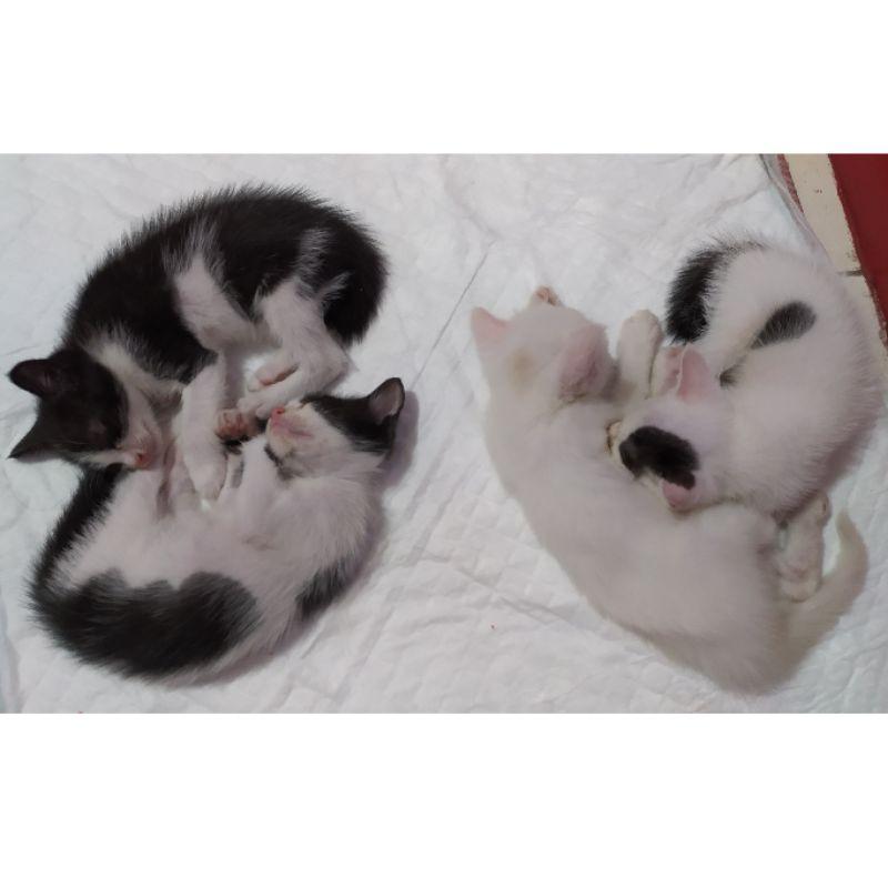 Anak Kucing Mix Ras Shorthair-Anggora