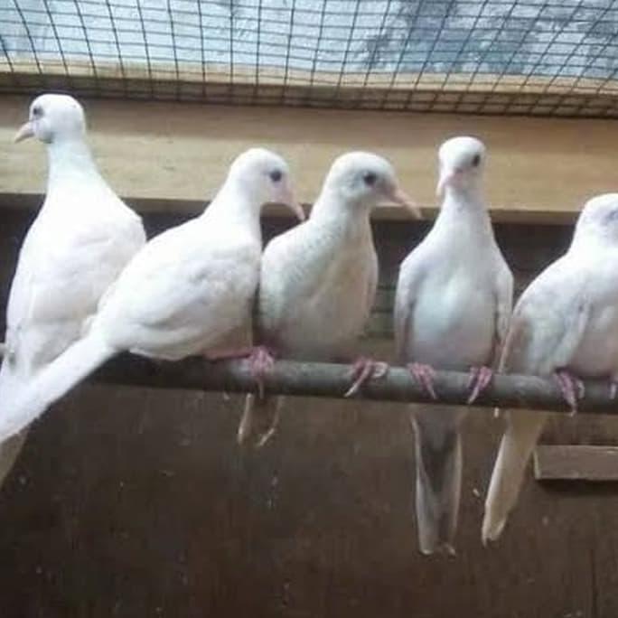 Burung Perkutut Putih Mata Merah Katuranggan Bisa Dikirim Indonesia Shopee Indonesia