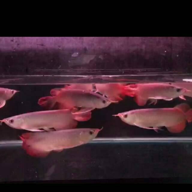 Arwana Super red 20cm