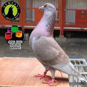 Download 1010+ Foto Gambar Burung Merpati Dan Cincin HD  Free
